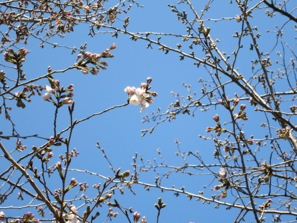 善福寺の桜