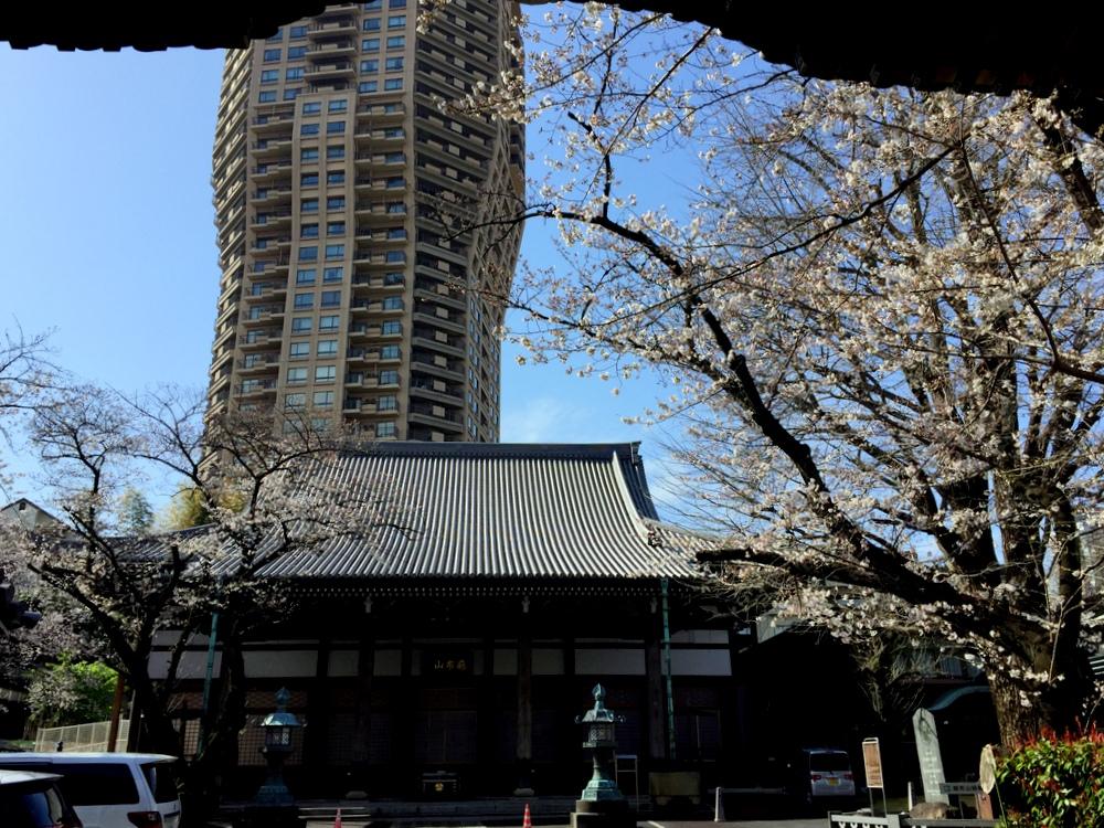 善福寺の山門脇の桜