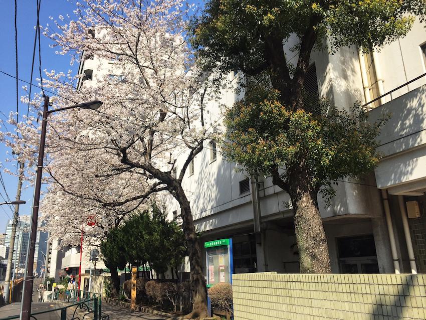 校舎と道路とのわずかな隙間に植わる桜が花を咲かせる港区立麻布小学校