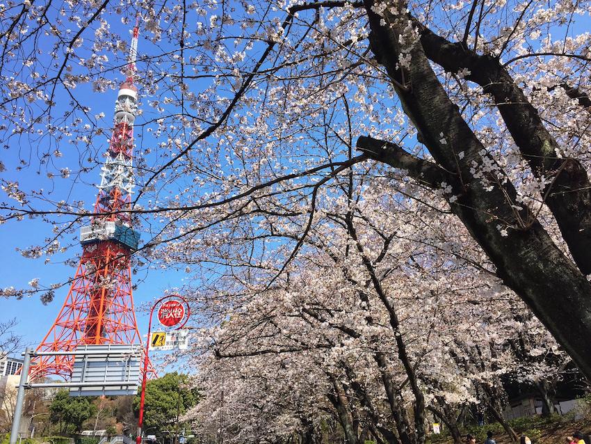 東京タワーと芝公園17号地の桜