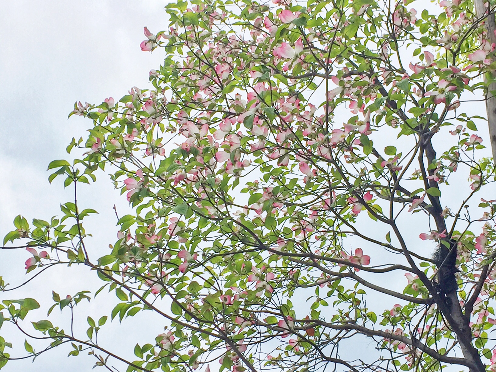 薄いピンク色が素敵な明治通り沿いのハナミズキ